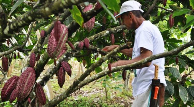 Cacao_Agrofuturo