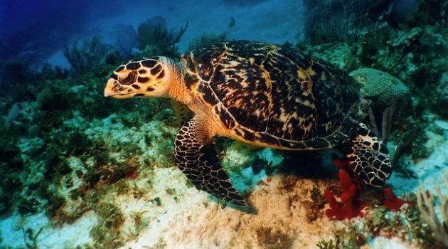 Foto: Cortesía. Tortuga Carey liberada en el Parque Nacional Natural Los Corales.