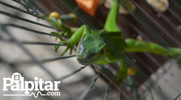 iguana_fauna_sivestre