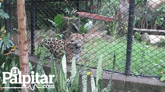 Panthera_Onca1_El_Palpitar