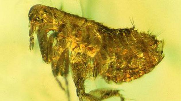 pulga_bacteria_peste_negra