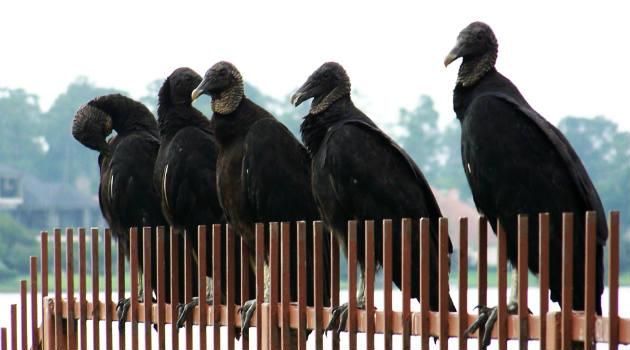 gallinazos_aves1
