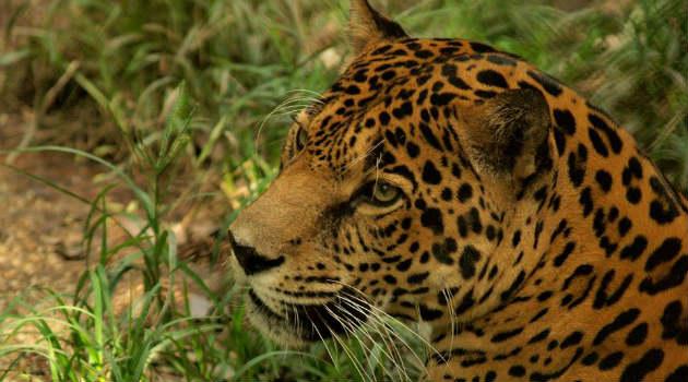 jaguar_zoológico