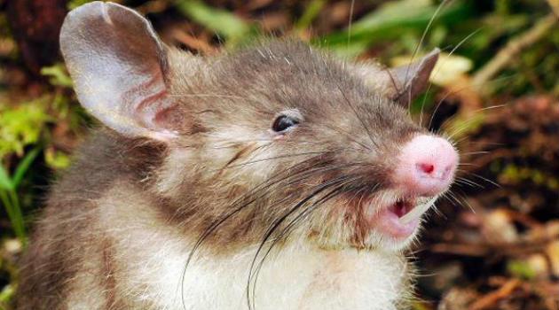 raton_musaraña