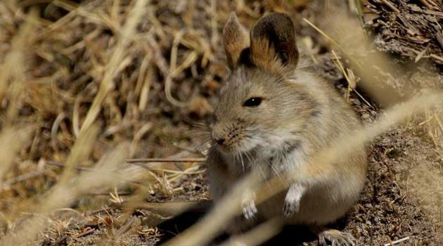 roedor_raton