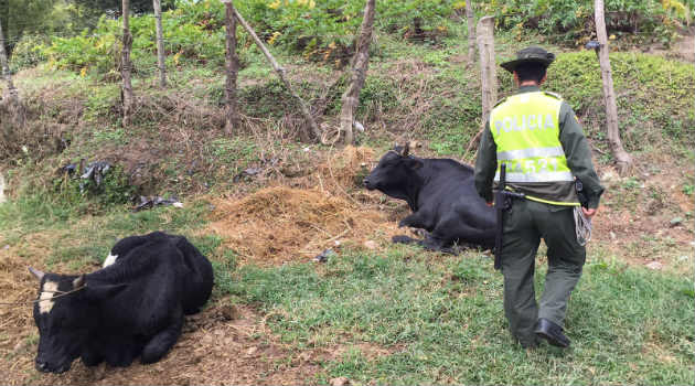 vacas_maltrato_toros_policia