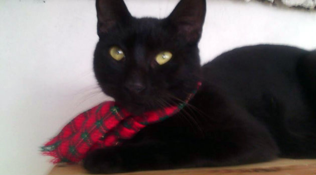 gato_cosmo_adopción