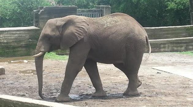 elefante_zimbawe_napoles
