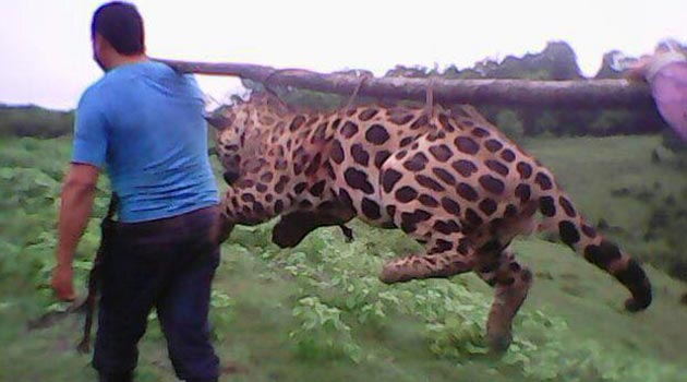 jaguar_caza3
