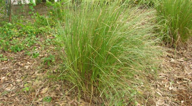 planta-vetiver