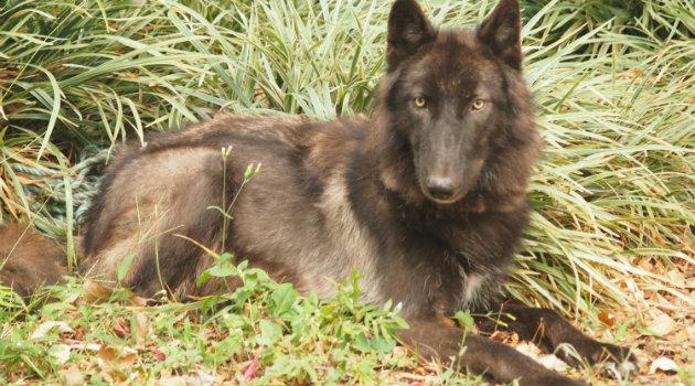 Lobo-zoologico