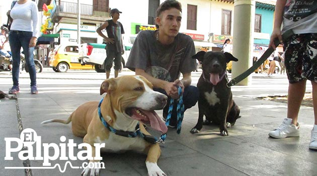 perros_pitbull2