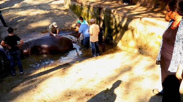 Gustavito-Hipopotamo