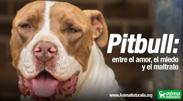 Pitbull_maltrato_El_Palpitar