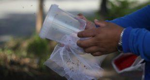 Liberación-mosquitos