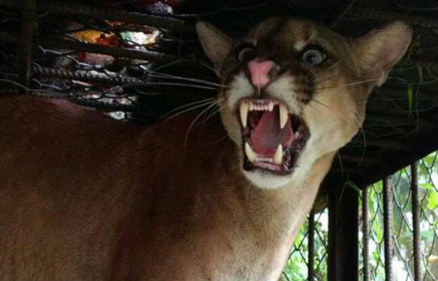 Puma-Urabá
