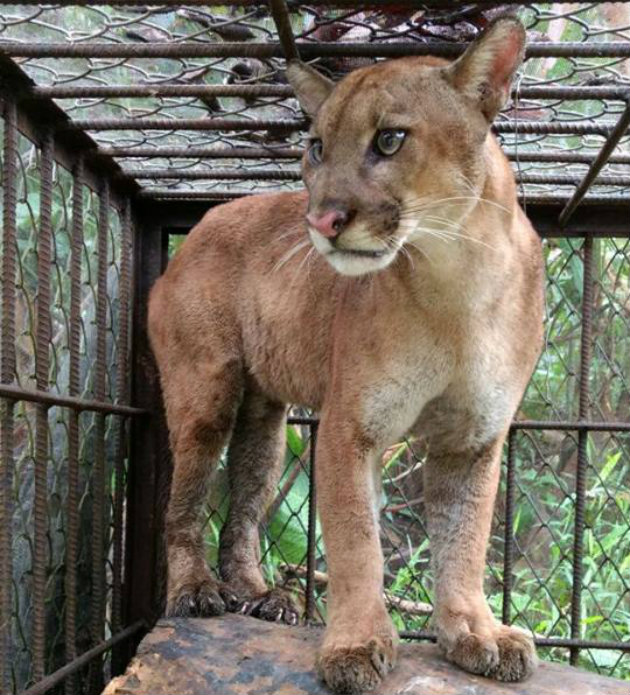 Puma-Urabá1