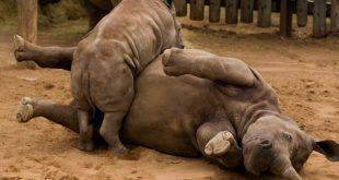 Video: El consentido rinoceronte que pide que le acaricien el estómago, ¿usted lo haría?