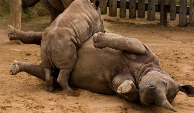 Rinoceronte-Cortesía