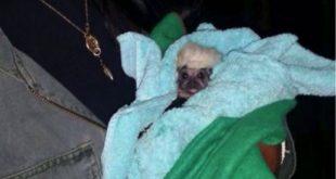 Tití-peliroja-bebé