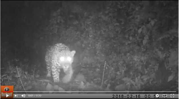 un jaguar en zona rural de Ituango